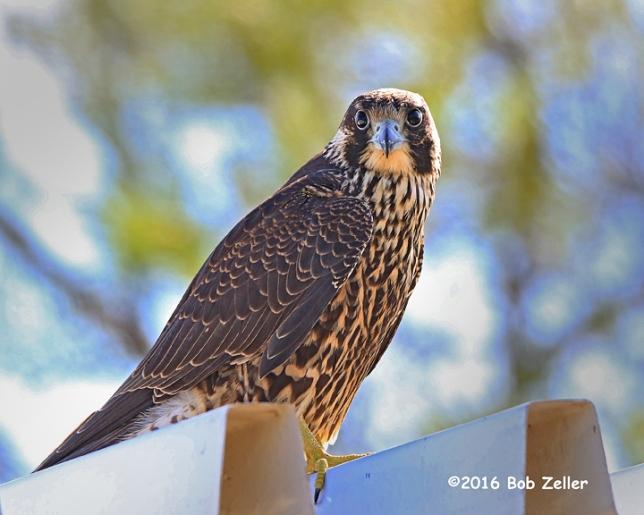 4G7A2865-net-falcon-peregrine-bob-zeller