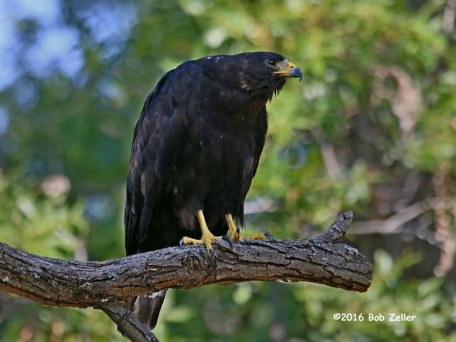 IMG_0054-net-hawk-black-common-bob-zeller