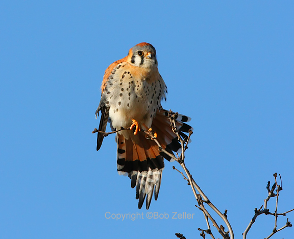 IMG_1000_blog_kestrel