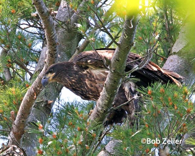 IMG_1508-net-eagle-golden-bob-zeller