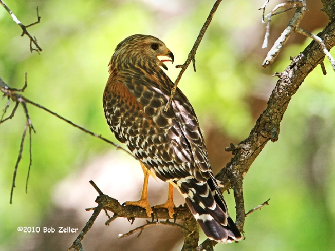 IMG_1888-net-hawk-red-shoulder-bob-zeller