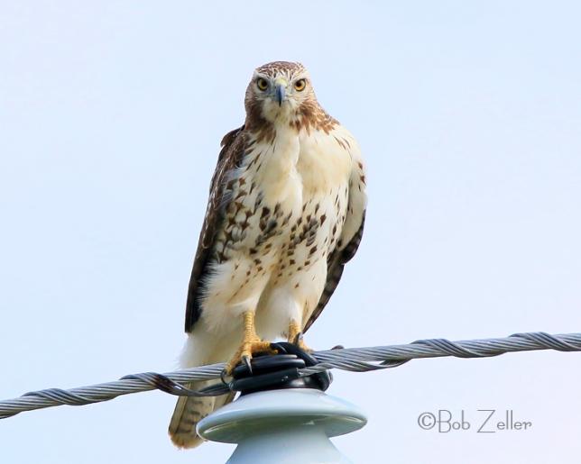 IMG_9940-net-hawk-redtail-bob-zeller