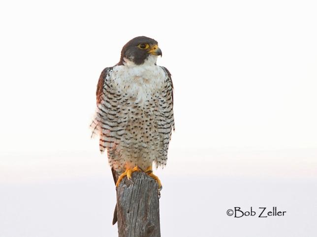 IMGB0665-net-falcon-peregrine-bob-zeller