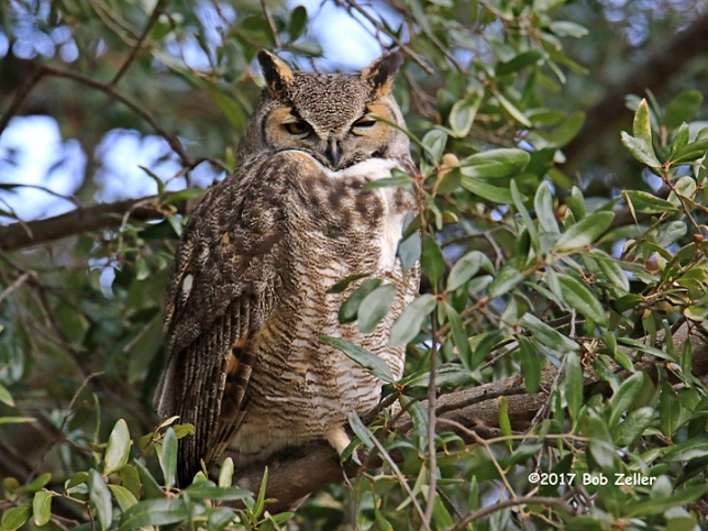 1Y7A4353-net-owl-horned-bob-zeller