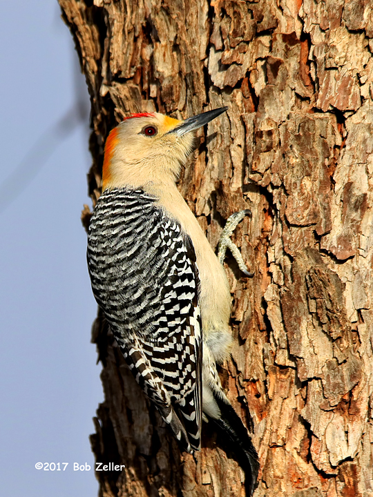1Y7A4537-net-woodpecker-golden-fronted-bob-zeller