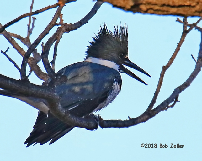 1Y7A4710-net-kingfisher-belted-bob-zeller