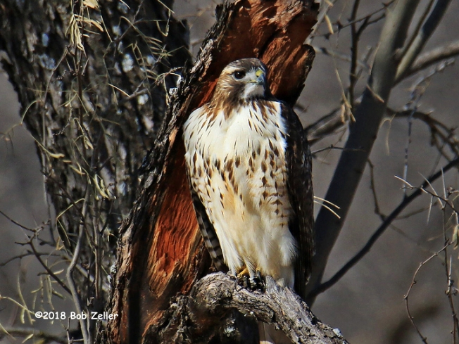 1Y7A4864-net-hawk-red-tailed-bob-zeller
