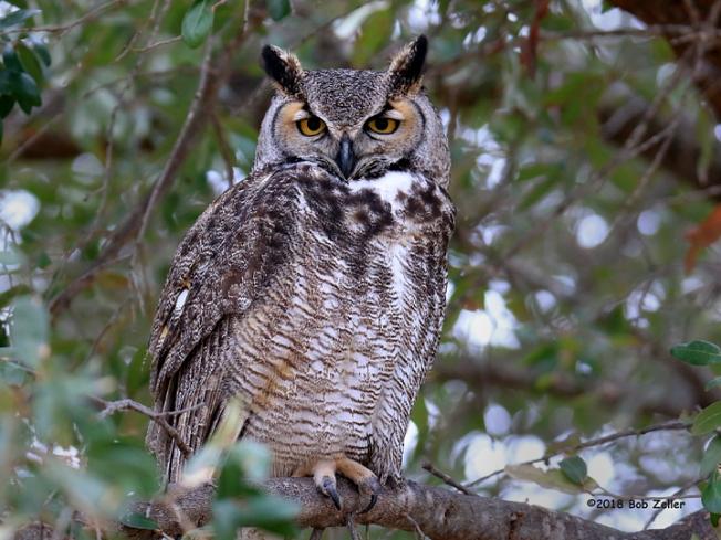 1Y7A5557-net-owl-horned-bob-zeller