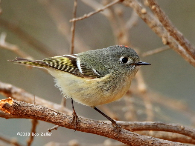 1Y7A5673-net-kinglet-ruby-crowned-bob-zeller