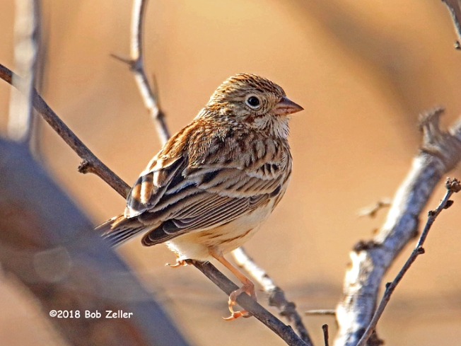 1Y7A5899-net-sparrow-vesper-bob-zeller