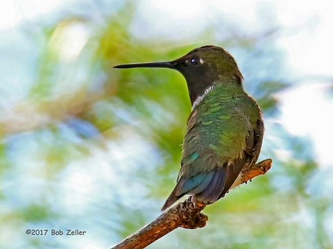 1Y7A7512-net-hummingbird-black-chin-bob-zeller
