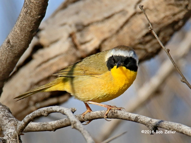 1Y7A7569-net-yellowthroat-bob-zeller