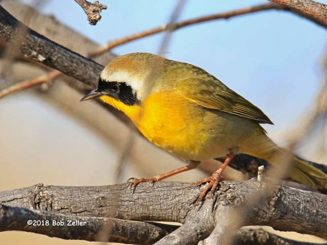 1Y7A7588-net-yellowthroat-bob-zeller
