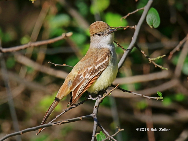 1Y7A8089-net-flycatcher-ash-throated-bob-zeller