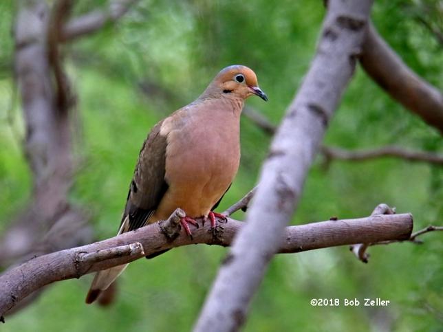 1Y7A8224-net-dove-mourning-bob-zeller