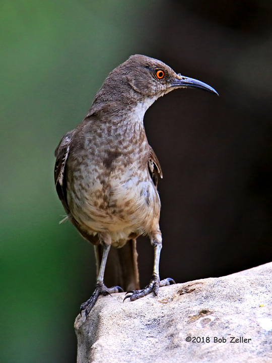 1Y7A8266-net-thrasher-curve-billed-bob-zeller