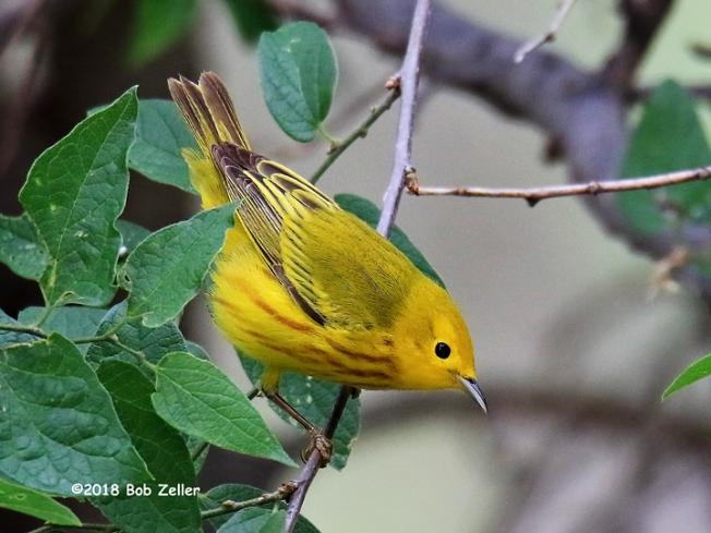 1Y7A8301-net-warbler-yellow-bob-zeller