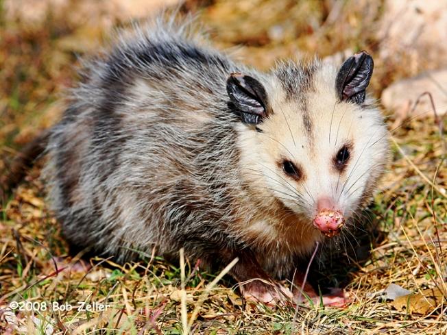 IMG_7297-net-possum-bob-zeller