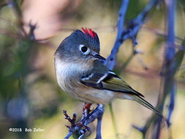 1Y7A0959-net-kinglet-ruby-cr-bob-zeller