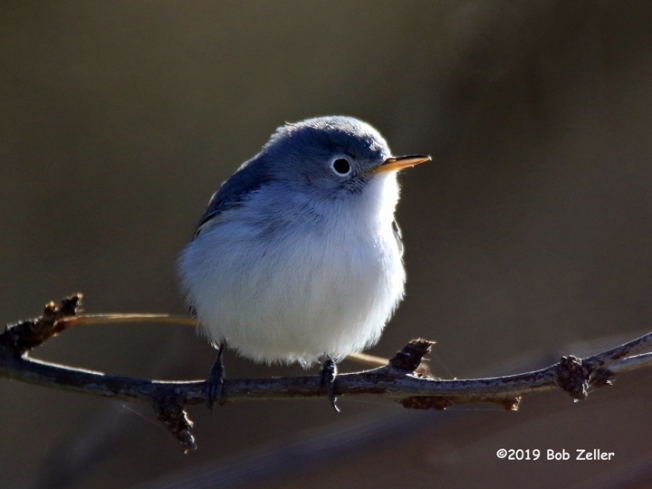 1y7a1892-net-gnatcatcher-blue-gray-bob-zeller