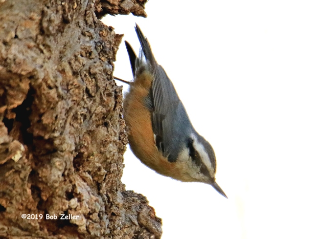 1y7a1980-net-nuthatch-red-breast-bob-zeller