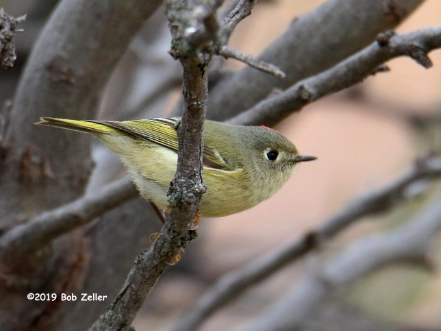 1y7a2236-net-kinglet-ruby-crown-bob-zeller