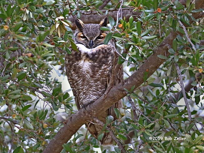 1y7a2256-net-owl-great-horned-bob-zeller
