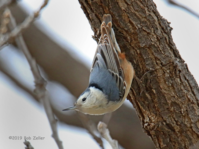 1y7a2336-net-nuthatch-white-breast-bob-zeller