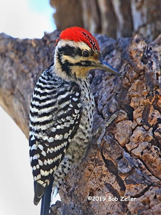 1y7a2583-net-woodpecker-ladderback-bob-zeller