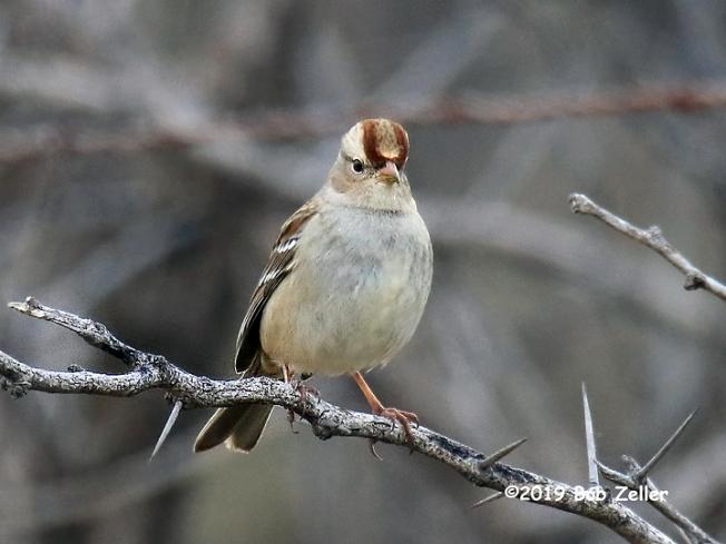1y7a2636-net-sparrow-white-crowned-bob-zeller