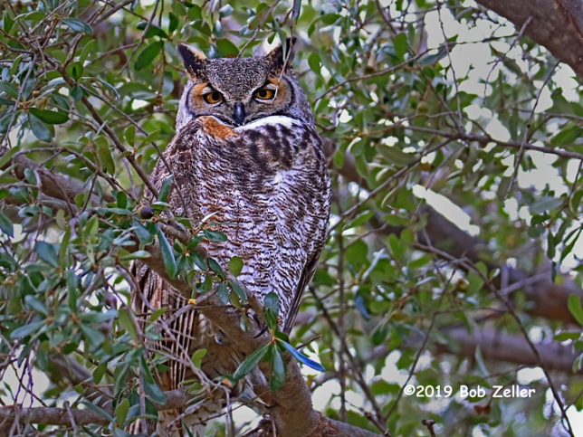 1y7a2639-net-owl-great-horned-bob-zeller