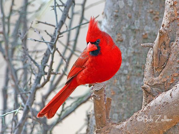 1155-net-cardinal-bob-zeller