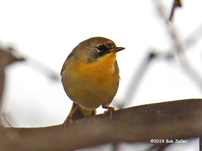 1Y7A2986-net-yellowthroat-common-bob-zeller