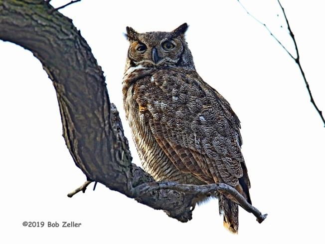 1Y7A3010-net-owl-great-horned-bob-zeller