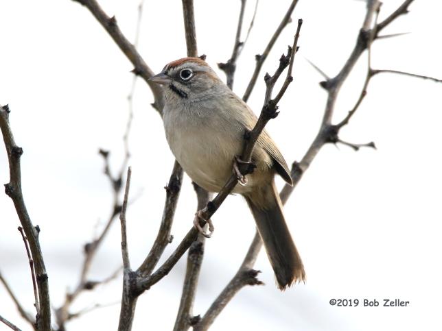 1Y7A3038-net-sparrow-rufous-cr-bob-zeller