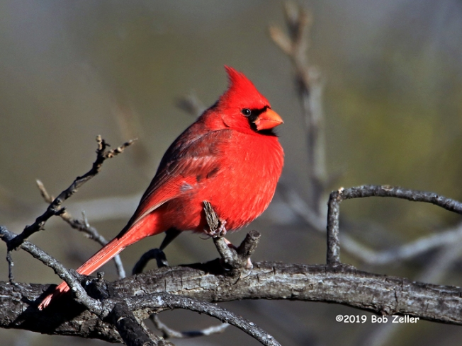 1Y7A3077-net-cardinal-bob-zeller