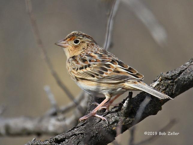 1Y7A3237-net-sparrow-grasshopper-bob-zeller