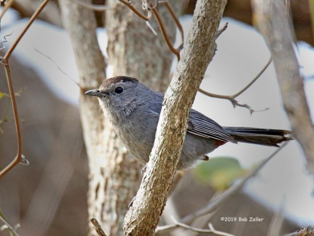 1Y7A3970-net-catbird-gray-bob-zeller