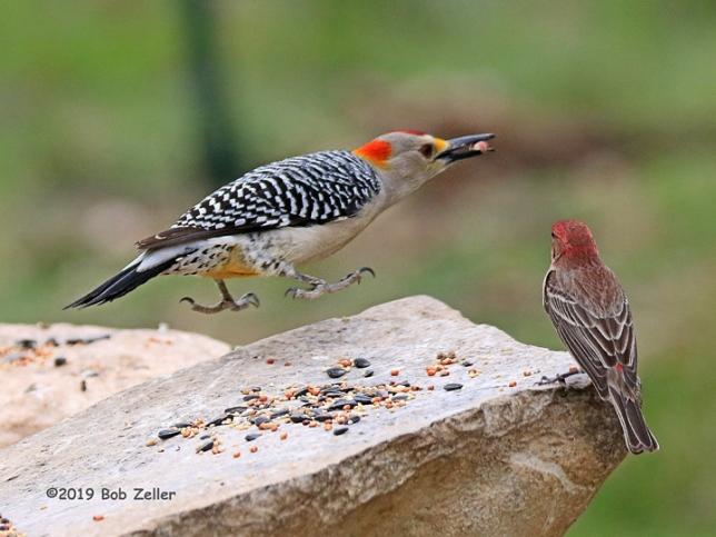 1Y7A4177-net-woodpecker-golden-fronted-bob-zeller