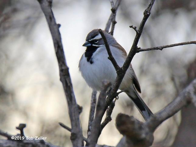 1Y7A4374-net-sparrow-black-throataed-bob-zeller