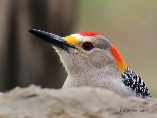 1Y7A4421-net-woodpecker-golden-fronted-bob-zeller