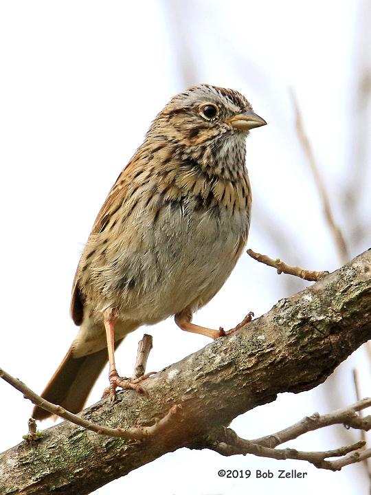 1Y7A5212-net-sparrow-lincolns-bob-zeller