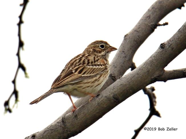 1Y7A5356-net-sparrow-vesper-bob-zeller