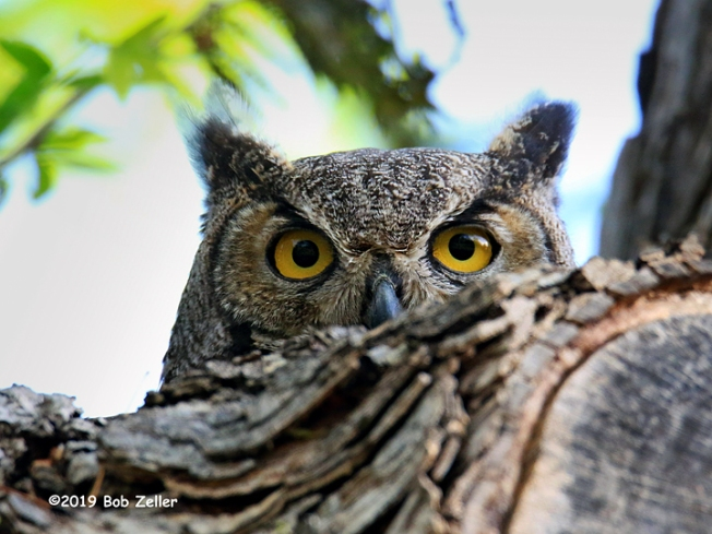 1Y7A5383-net-owl-great-horned-bob-zeller