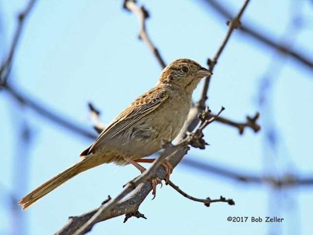 1Y7A5548-net-sparrow-cassins-bob-zeller