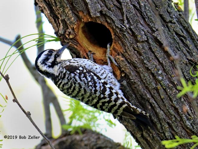 1Y7A5605-net-woodpecker-ladderback-bob-zeller
