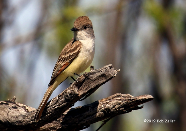 1Y7A5638-net-flycatcher-ash-throated-bob-zeller