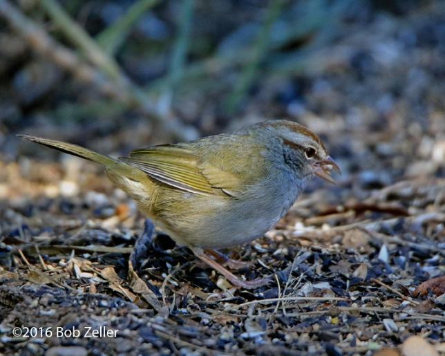 4G7A4835-net-sparrow-olive-bob-zeller