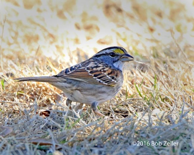 4G7A5173-net-sparrow-white-throat-bob-zeller
