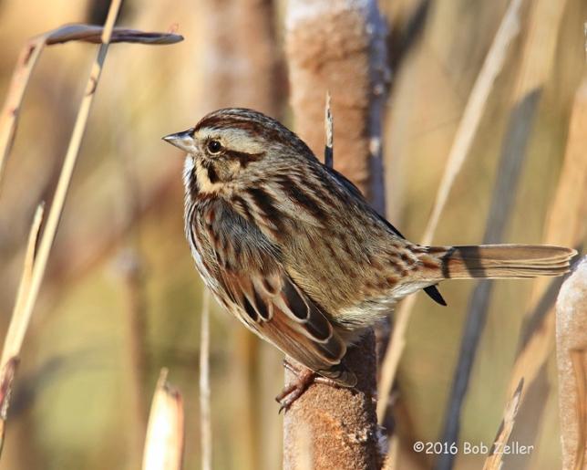 4G7A7504-net-sparrow-song-bob-zeller